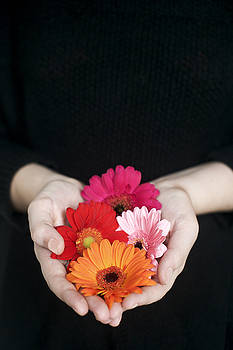 Hands Holding Colorful Gerbera Daisies  by Di Kerpan