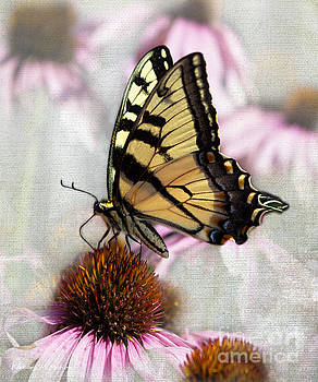 Barbara McMahon - Handsome Male Yellow Swallowtail Butterfly