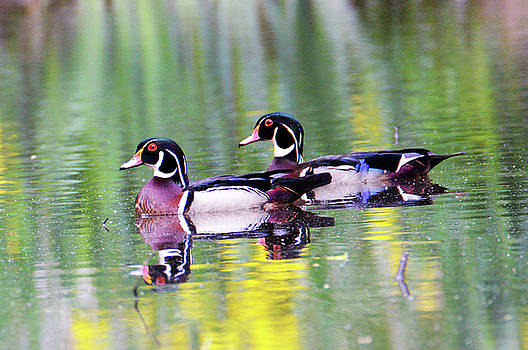 Handsome Wood Ducks by Kathy Kelly