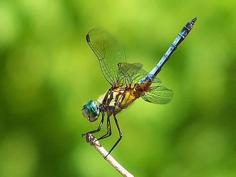 Karen Scovill - Handstand Dragonfly