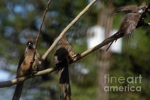 Hanging Mousebirds by Morris Keyonzo