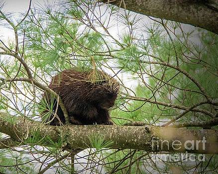Hanging Out - Porcupine by Jan Mulherin