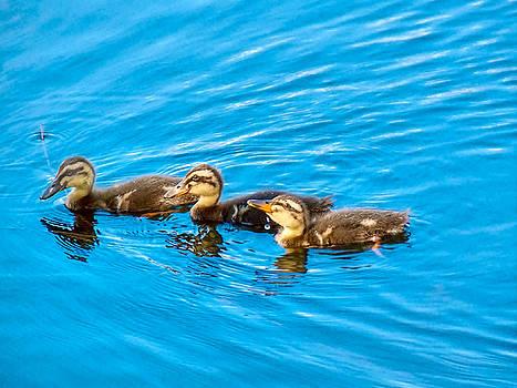 Happy Ducks by Robert Brown