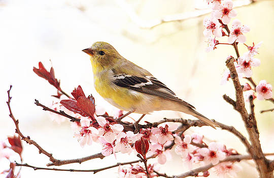 Happy Goldfinch by Trina Ansel