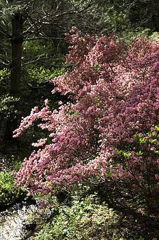 Teresa Mucha - Happy Hollow Gardens Pink Azalea 01