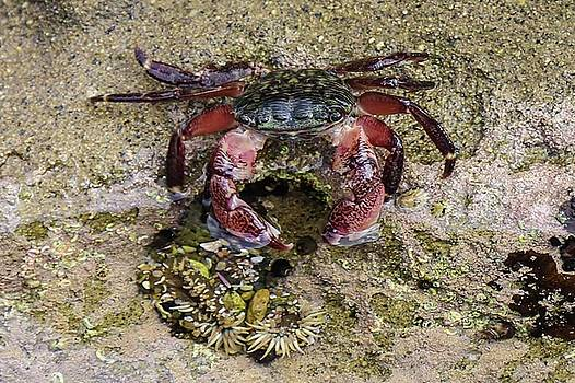Brandy Little - Happy Little Crab