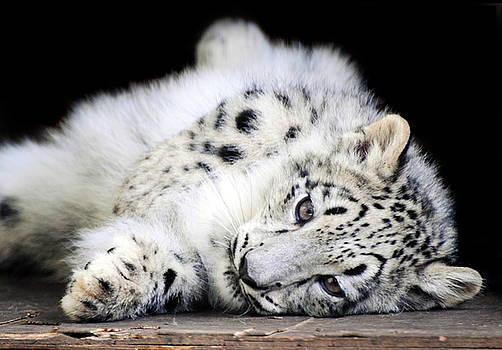 Hara...Snow Leopard Cub by Stephie Butler