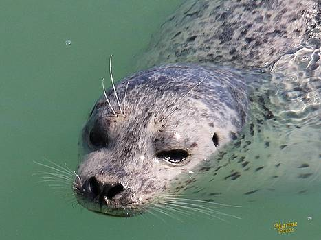 Gary Canant - Harbor Seal in Water