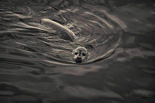 David Gordon - Harbor Seal IV Toned