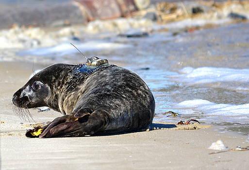 Harbor Seal by Lorelei Galardi