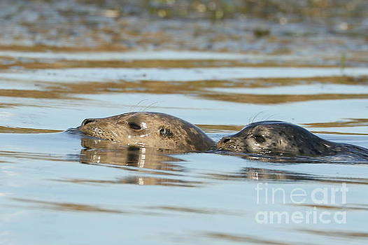 Harbor seal mom and pup by P W