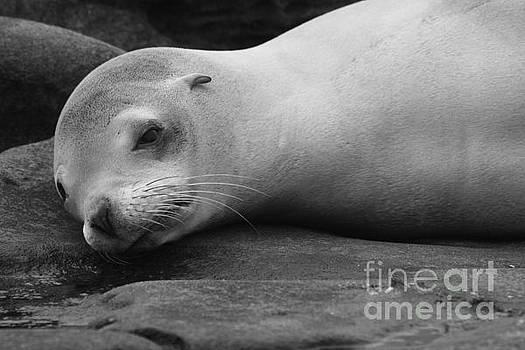 Harbor Seal Nap by John F Tsumas