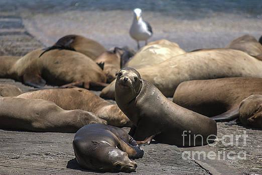 Harbor Seals - Monterey by John Greco
