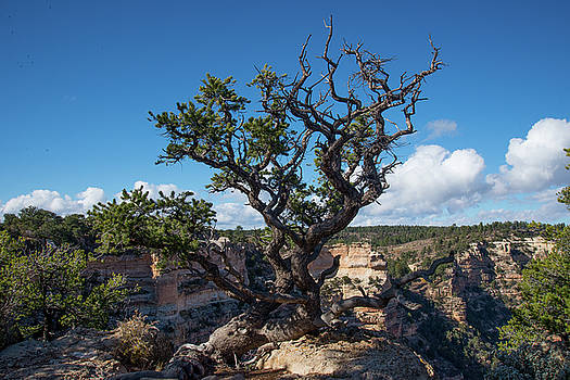 Hardy Tree by Frank Madia
