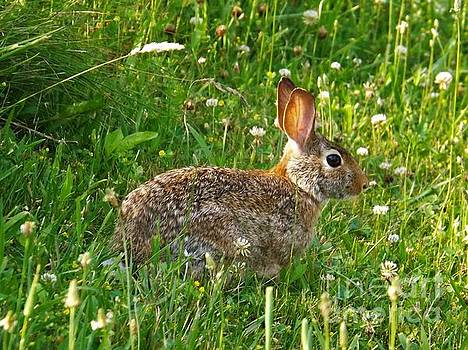 Hare in the grass by Sara Raber