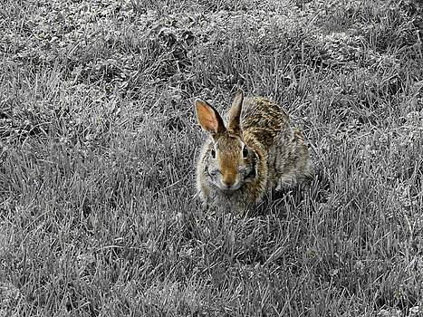 Gothicrow Images - Hare In The Gray Grass