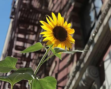 Karin Kohlmeier - Harlem Sunflower