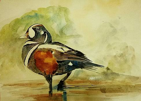 Harlequin duck. by Khalid Saeed