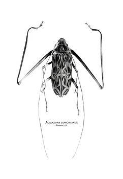 Acrocinus I by Geronimo Martin Alonso