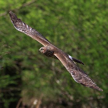 Harrier Hawk by John Rowe