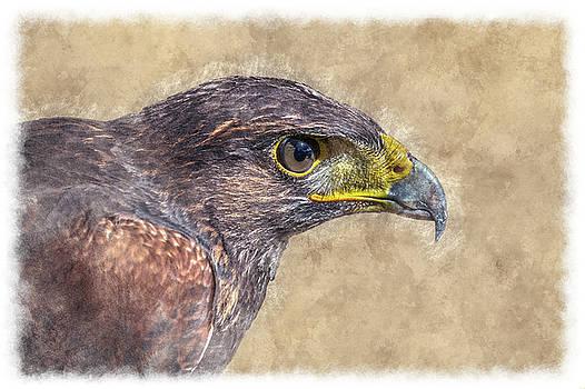 Harris Hawk Portrait by Yves Keroack