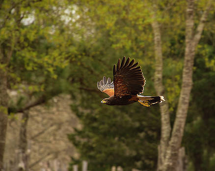 Harris Hawk by Roy Nierdieck