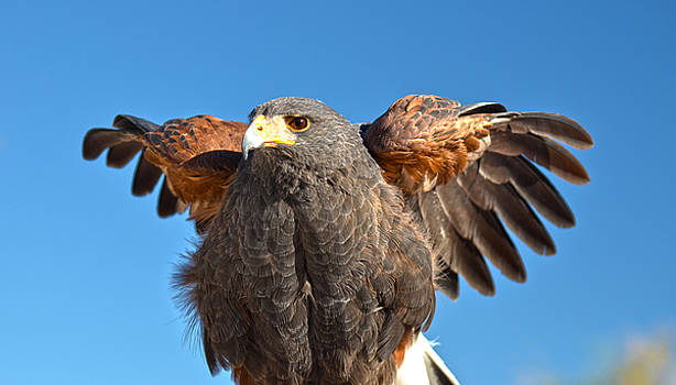Harris Hawk Show-Off  by Judy Grant