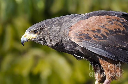 Harris Hawk stare by Steev Stamford