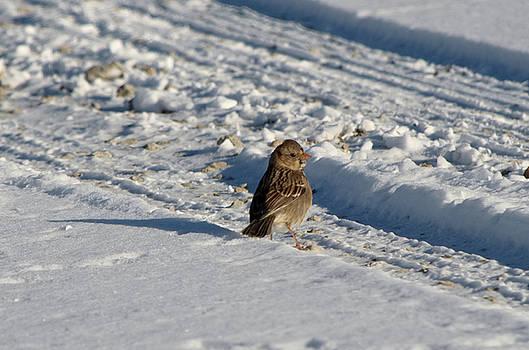 Harris's Sparrow by James Petersen