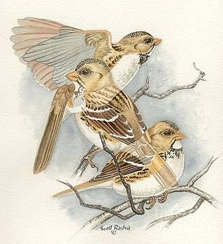 Harris's Sparrow by Scott Rashid