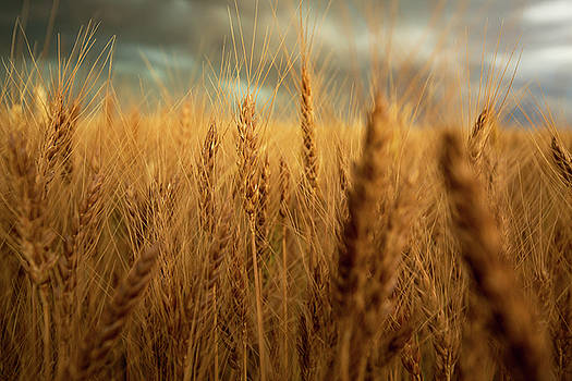 Harvest Time - Golden Wheat in Southeast Colorado by Sean Ramsey