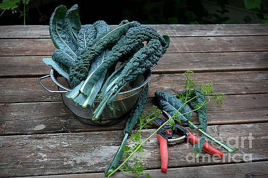 Harvesting Homegrown Kale by Tanya Searcy