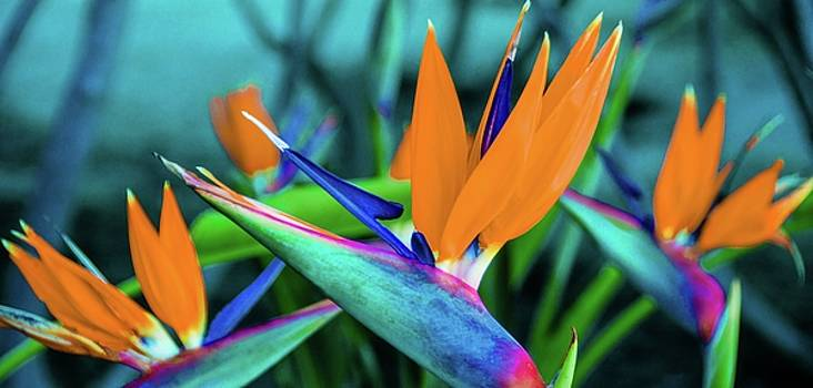 Hawaii Bird of Paradise Flowers by D Davila