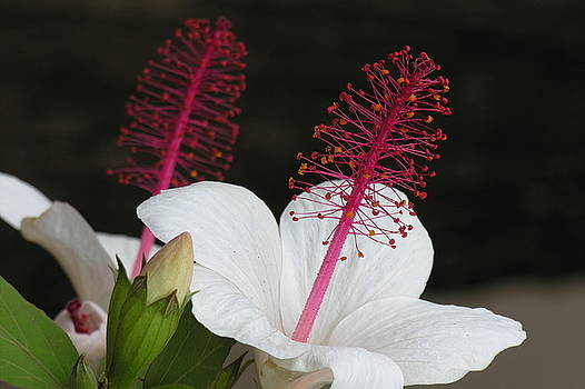 Hawaii Flower by Diane Greco-Lesser