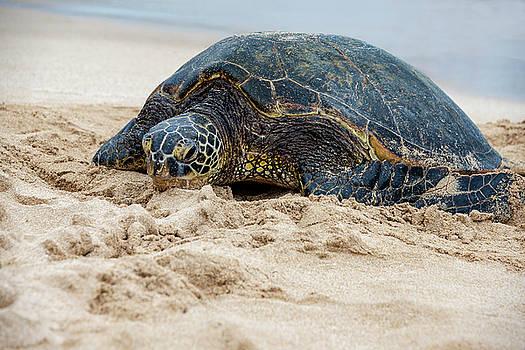 Brian Harig - Hawaiian Green Sea Turtle 4 - Oahu Hawaii