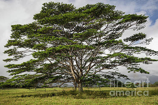 Hawaiian Moluccan Albizia Tree by Dustin K Ryan