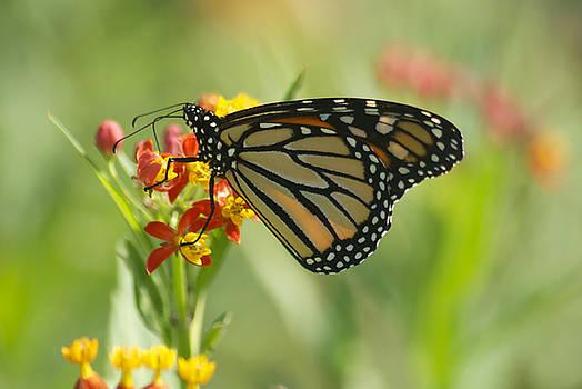 Michael Peychich - Hawaiian Monarch 1