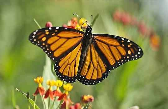 Michael Peychich - Hawaiian Monarch 3