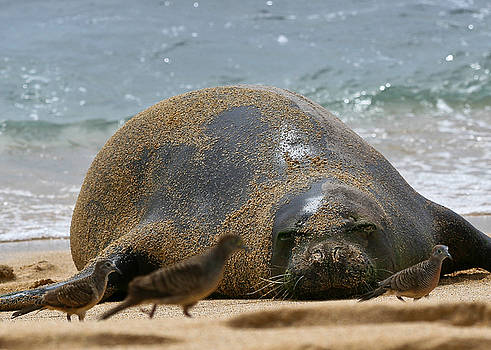 Roger Mullenhour - Hawaiian Monk Seal and Doves