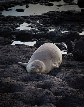 Hawaiian Monk Seal by Roger Mullenhour