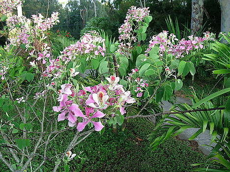 James Temple - Hawaiian Pink Orchid Tree