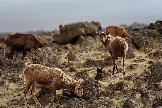 Susan Rissi Tregoning - Hawaiian Sheep