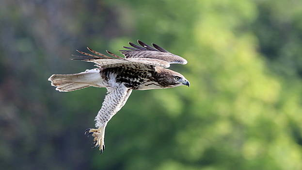 Hawk Attack by Jim Nelson