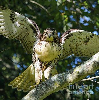 Hawk by Brian Jones