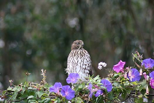 Hawk by Cynthia Marcopulos