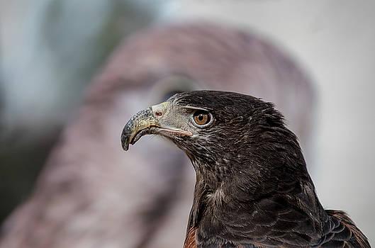 Hawk Eye by Paulo Goncalves