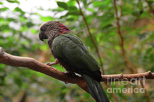 Hawk Headed Parrot Perched on a Tree Branch by DejaVu Designs