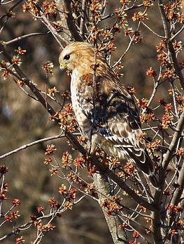 Hawk in Springtime Buds by Lori Frisch