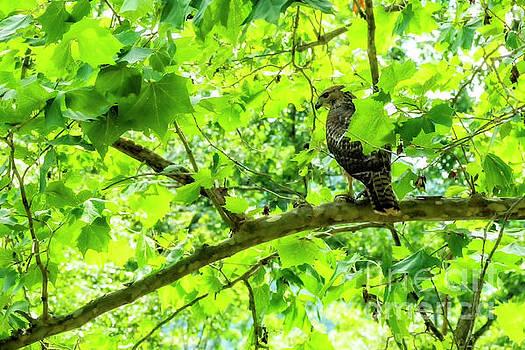 Hawk in Sycamore by Thomas R Fletcher