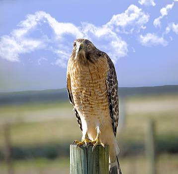 Hawk on a Fencepost by Susan Leggett